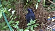 Bowerbird in Bower