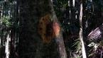 Yellow Lichen on Rainforest Tree