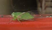 Lesser Bottle Cicada