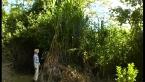 Bana Grass