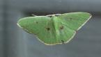 Rainforest Moth
