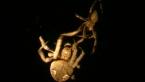 Garden Orb Spiders Mating