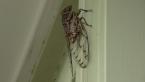 Razor Grinder Cicada