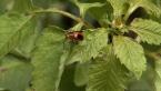 Leef Beetle